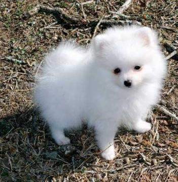 quality pomeranian puppies boys and girls for sale