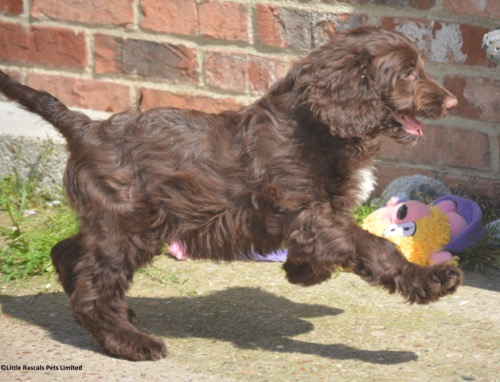 Adorable Chocolate Springer x Poodle Babies