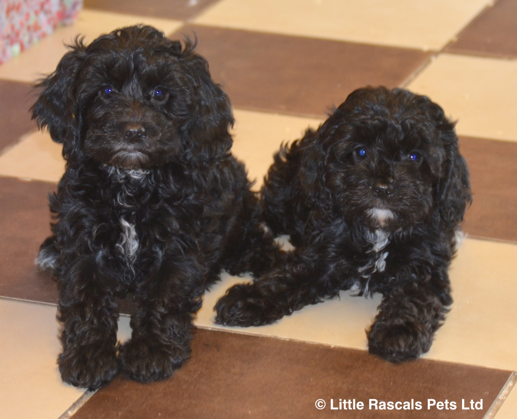Playful Cockapoo puppies