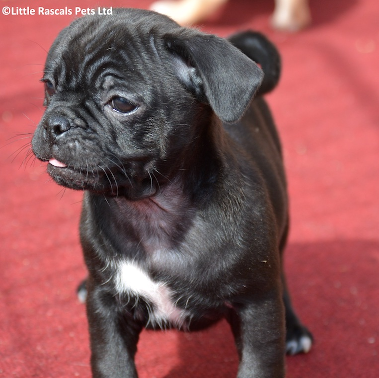 3/4 Pugs Puppies for sale