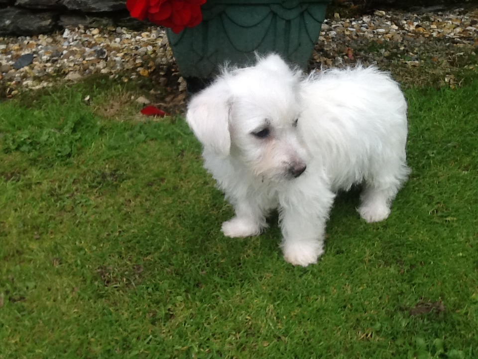 Free Ads Dogs For Sale Dorset