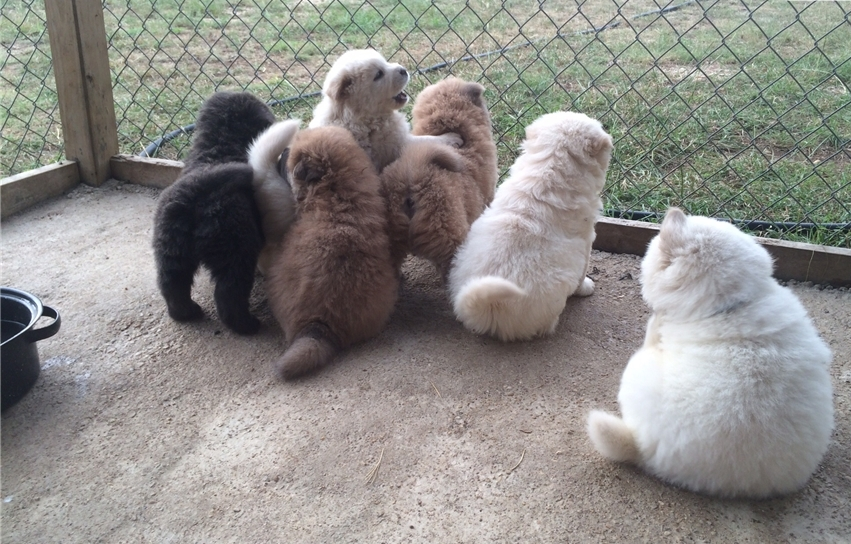 Quality Chow Chows Boys Girls Kc Reg