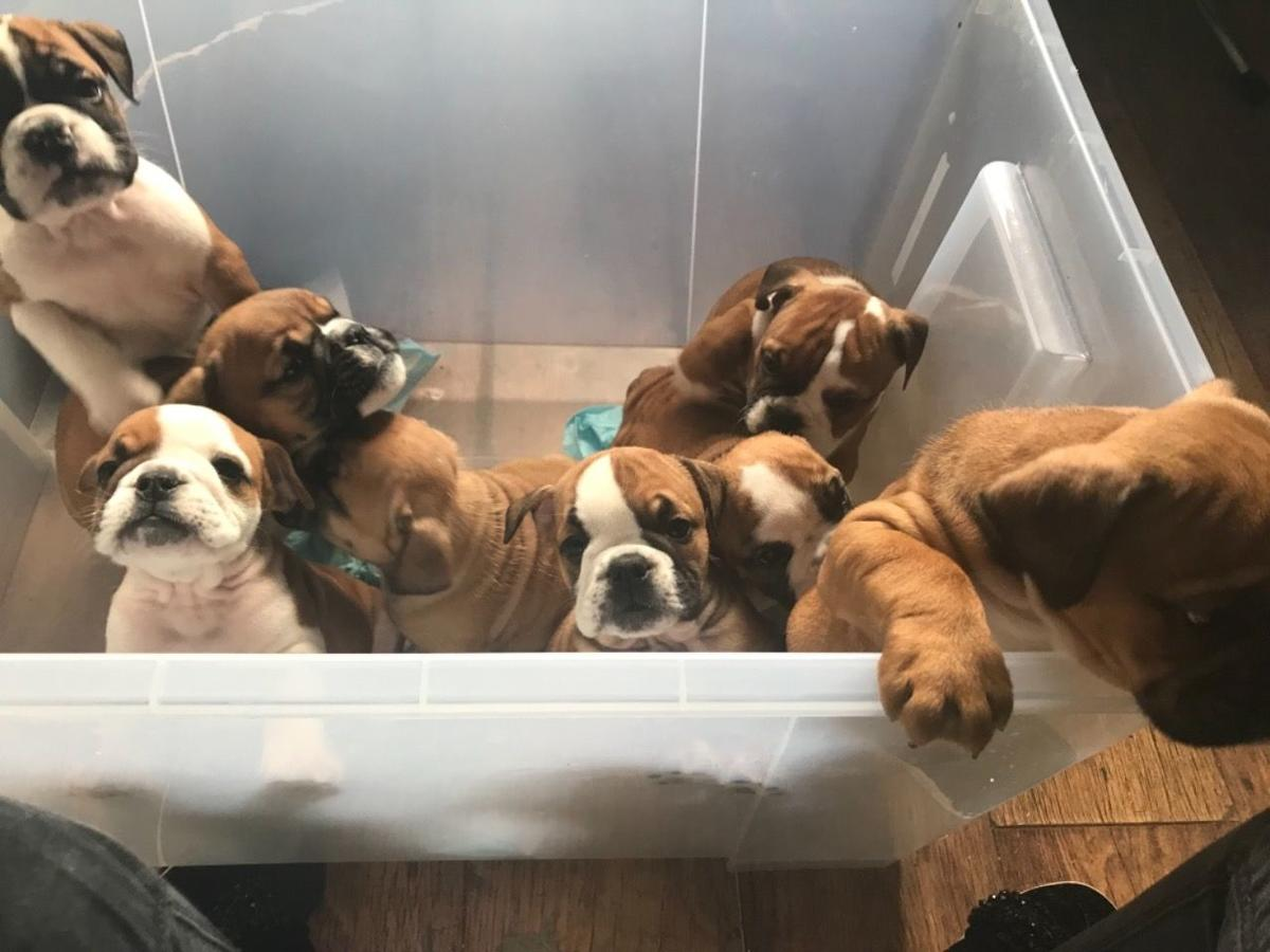 3 red and white English Bulldog puppies for sale