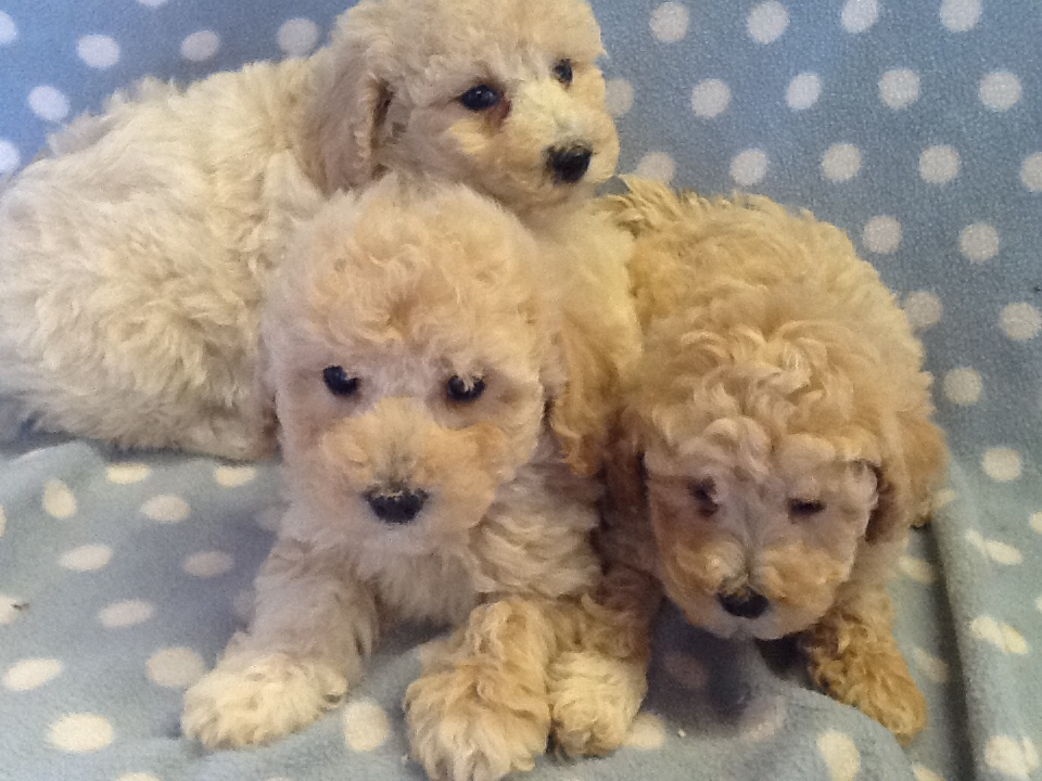 ABSOLUTELY DELIGHTFUL,   POOCHON  PUPPIES,