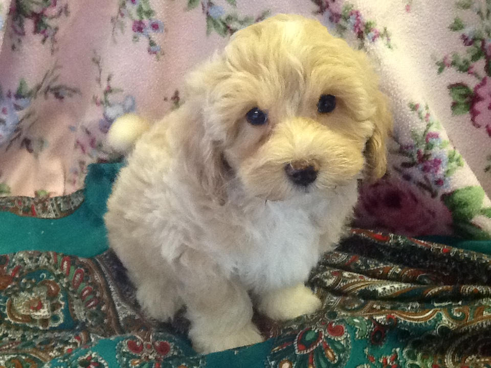 - MAX - ADORABLE 9WK OLD BOY BICHON/SHIHPOO PUPPY
