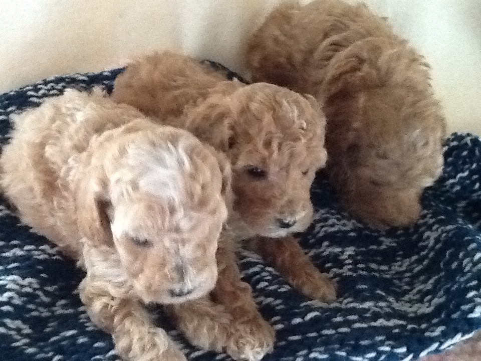 STUNNING THREE QUARTER TOY POODLE PUPPIES