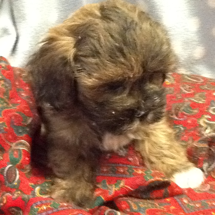 ABSOLUTELY DELIGHTFUL,   SHIHPOO  PUPPIES,