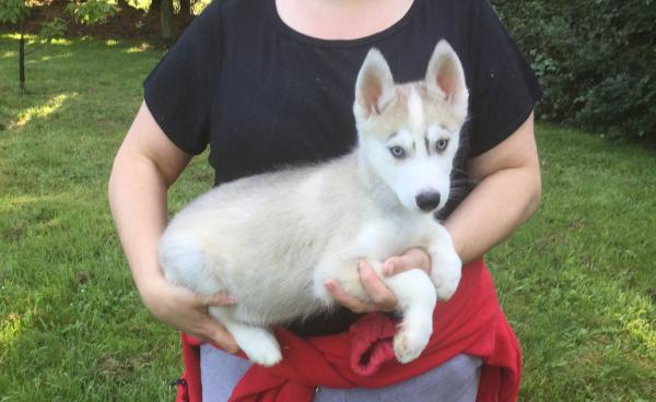 K C Registered Siberian Husky Puppies