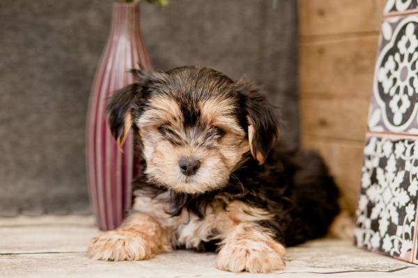 Cheapest classified ads Adorable Morkie Puppies for sale in London ...