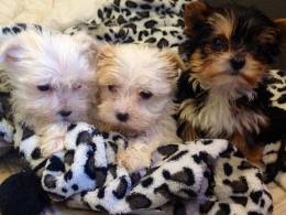 TEACUP MORKIES AMAZING! | Warrington, Cheshire | Pets4Homes