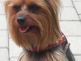 Tiny Yorkshire Terrier for stud