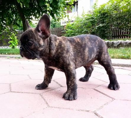 Awesome Playful French Bulldog puppies available