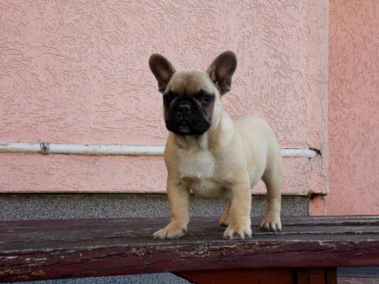 french bulldog for adoption playful french bulldog puppies for adoption 4689