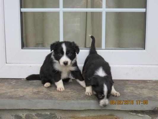 The Best Border Collies By Far, Ready Now.