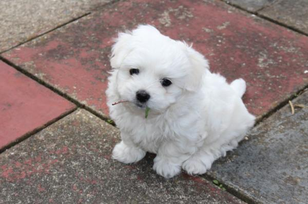 puddles outdoor teacup maltese puppies for sale