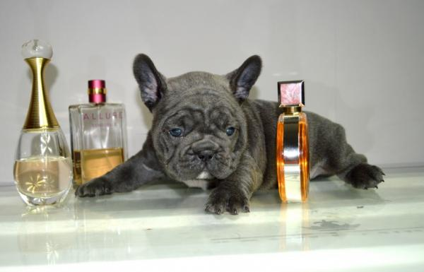 Super cute perfect French Bulldog puppies.