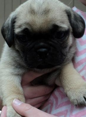 Perfect cute male/female Pug puppies ready now !!!