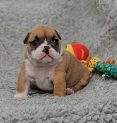 english bulldog puppys for sale