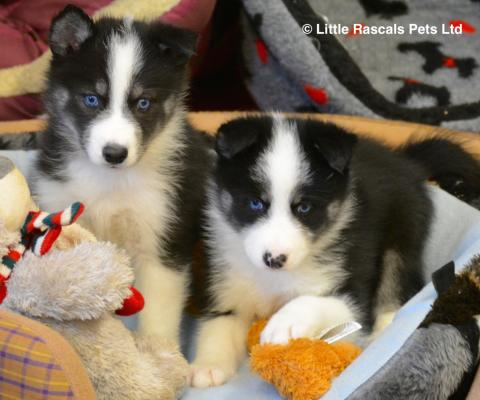 Dogs for Sale at Buy My Dog-Find Dogs and Puppies for sale