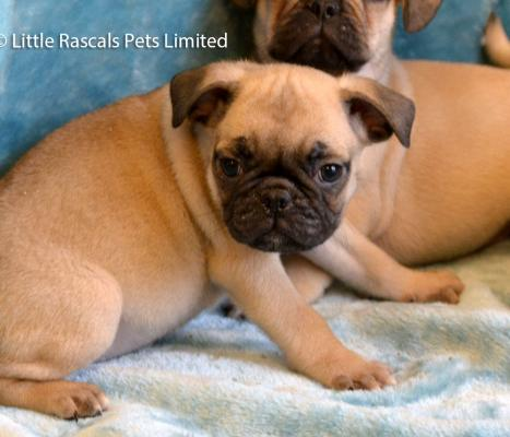 7/8 pug puppies for sale