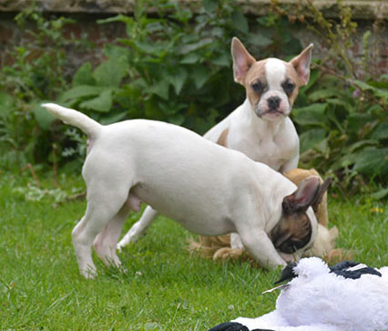 3/4 French Bulldog Puppies for sale