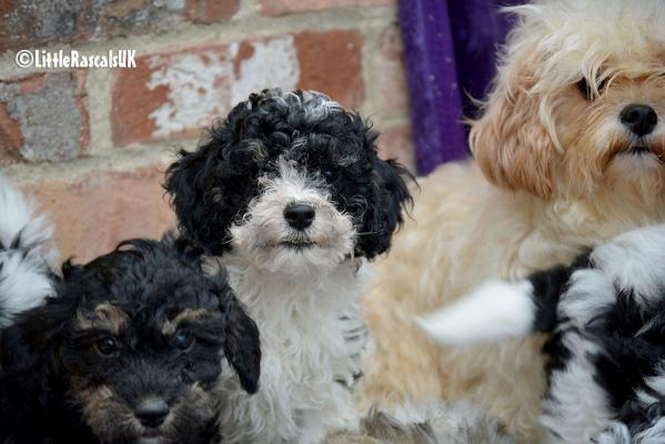 Cavapoochon Puppies for sale