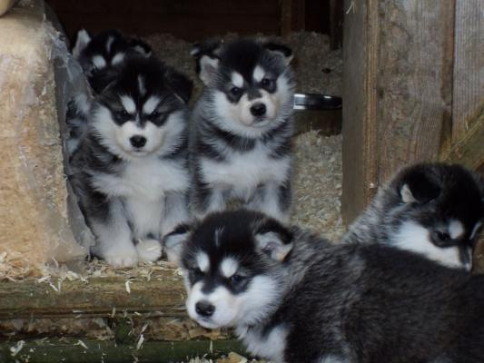 READY NOW  KC reg. Alaskan Malamute Puppies