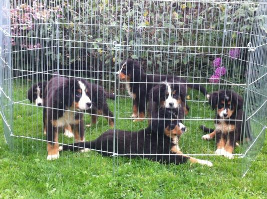 males n females Bernese Mountain Dog Puppies ready