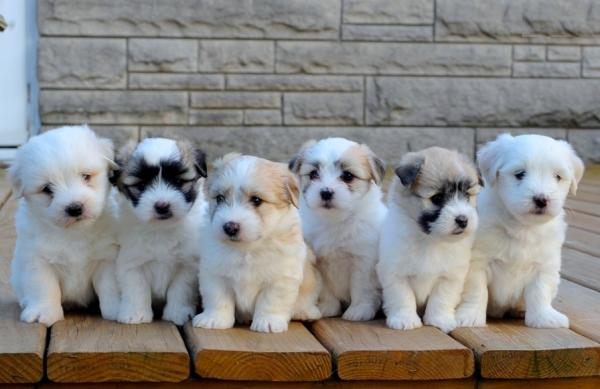 FLUFFY PEDIGREE WHITE COTON DE TULEAR PUPPIES