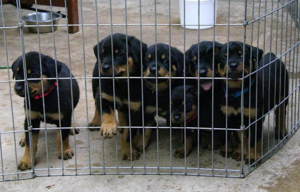 Stunning healthy Rottweiler puppies Available