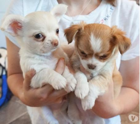 Stunning Pedigree Chihuahua Boys and Girls