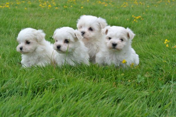 Preciuos Tiny Kc Reg Maltese Pups Ready Now!!