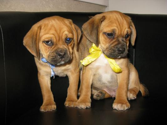 Gorgeous chunky Puggle Puppies for Sale