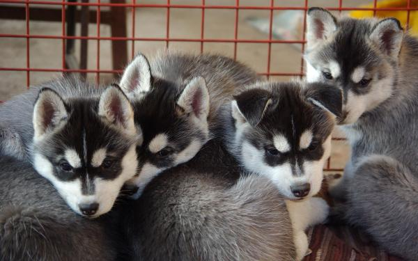 Gorgeous chunky Pomsky Puppies for Sale