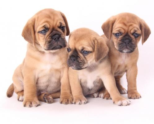 Superb quality f1 puggle puppies ready NOW!!