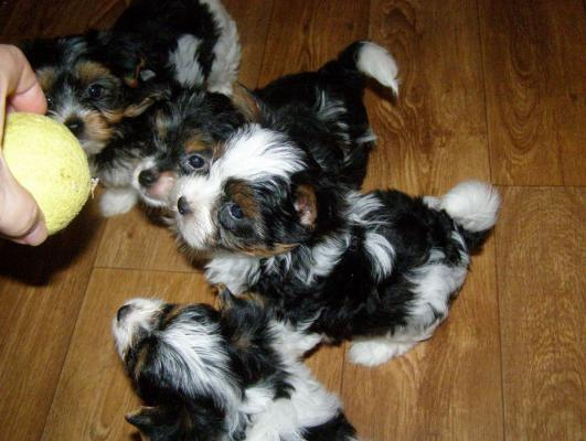Absolutely Biewer Yorkshire Terrier Puppies