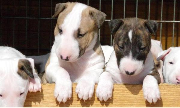 Cute English Bull Terrier Puppies For Sale.