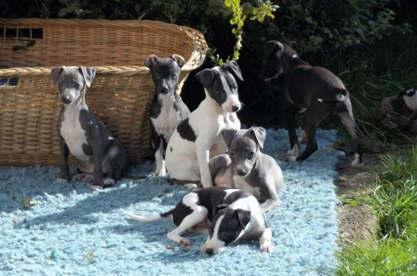Italian Greyhound Pedigree Pup For Sale