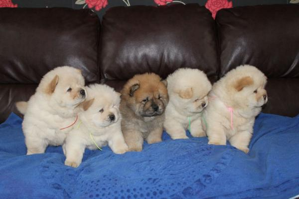 Full Pedigree Kc Registered Chow Chow Puppies