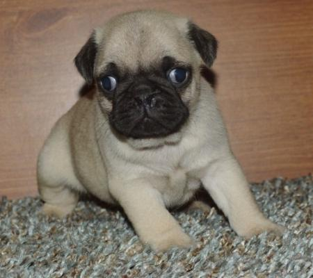Very nice pug puppies for sale