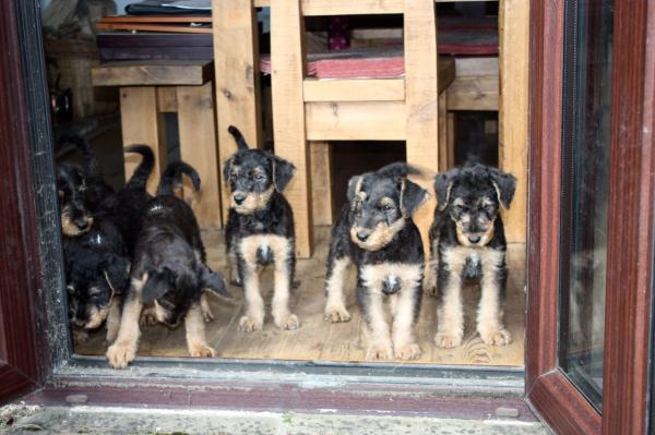 Kc Reg. Airedale Terrier Puppies