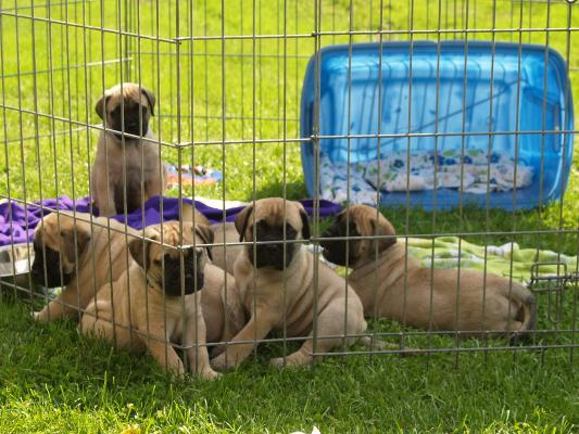 Beautiful Pedigree Bullmastiff Puppies