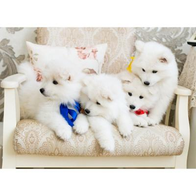 FABULOUS FLUFFY PEDIGREE WHITE SAMOYED PUPPIES