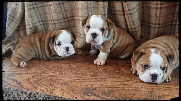 British bulldog puppies for new homes