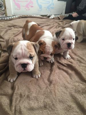 100% Pure English Bulldog puppies KC reg