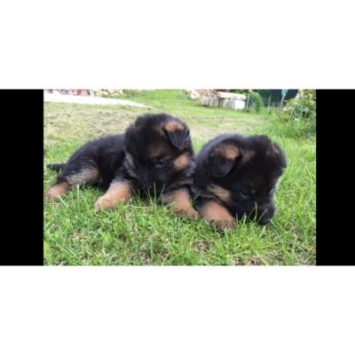 Absolutely Gorgeous German Sheperd Puppies!!!