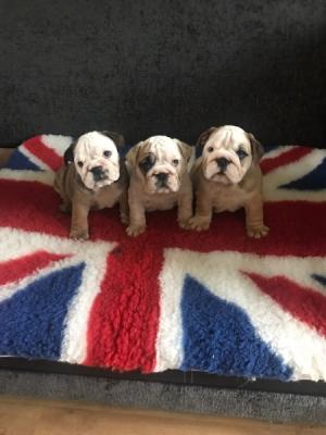 Stunning English Bulldog puppies for sale