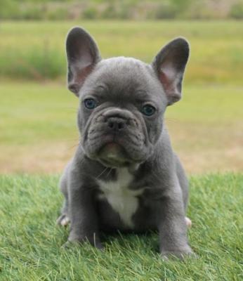 Beautiful blue french bulldog pups for sale