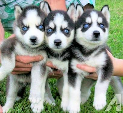 Pure Siberian Husky's, 2 Girls 3 Boys