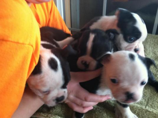 Beautiful KC Reg Boston Terrier Puppies